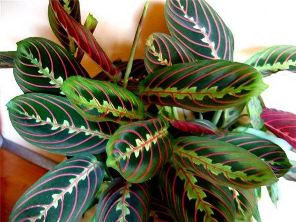 маранта фото трехцветная