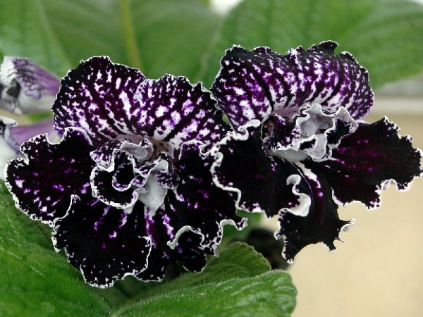 стрептокарпус фото цветок