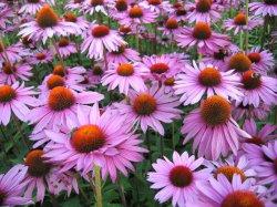 Эхинацея пурпурная фото