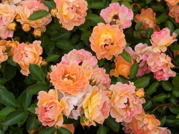 Бесси роза почвопокровная